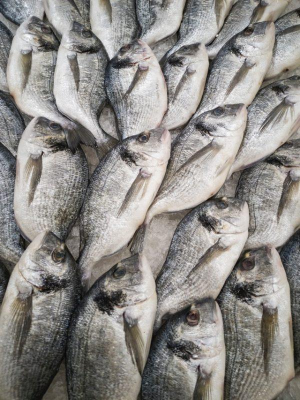 Dorada pile of fish